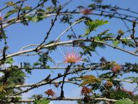 Albizia blooms - Botanical garden north of Hilo, Hawaii