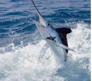 Ikan Marlin Putih