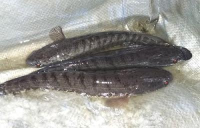 Pembenihan Ikan Gabus
