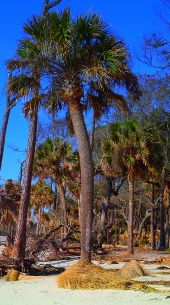 Palmetto at Hunting Island State Park in South Carolina, photo by DearMissMermaid.com