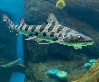 Leopard shark / Hiu Macan Tutul