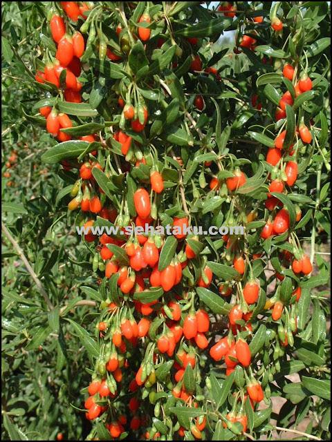 gambar pohon buah goji berry