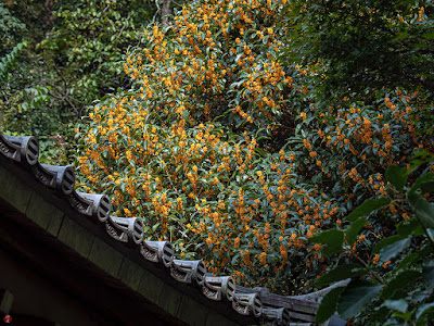 Kinmokusei (Osmanthus fragrans) flowers: Engaku-ji