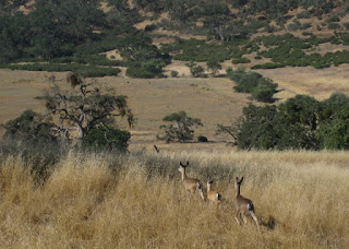 Three deer running in a field at Joseph Grant Ranch County Park, San Jose, California
