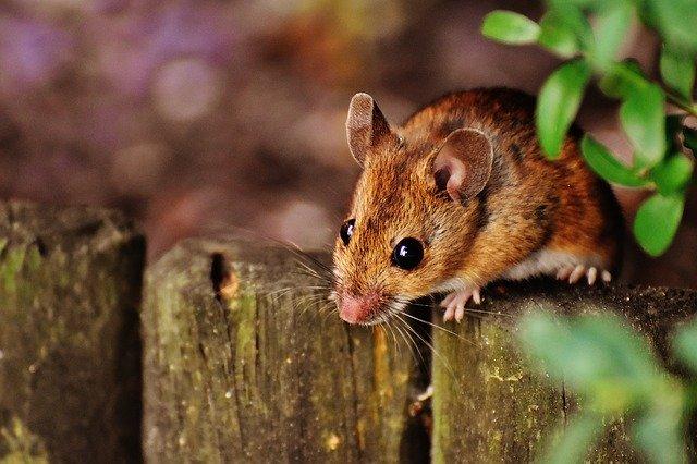 Tanaman pengusir tikus sawah yang paling ampuh
