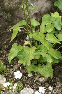 Raiponce en épi - Phyteuma spicatum