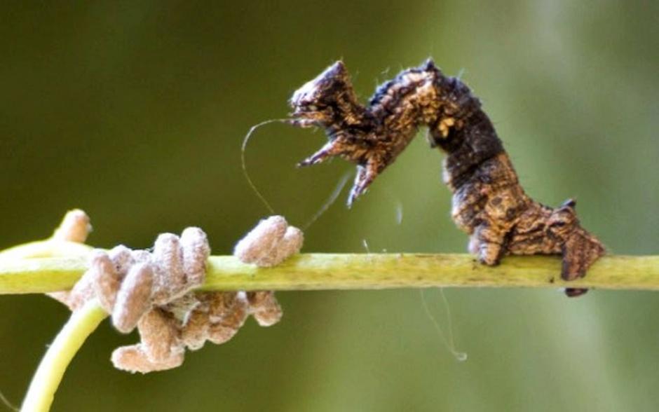 Thyrinteina leucocerae caterpillars, Glyptapanteles wasp