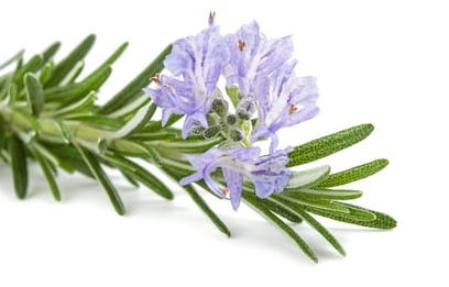 How To Growing Rosemary At Home