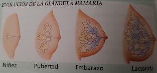 desarrollo de las mamas