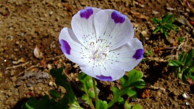 花弁全体が薄水色で花弁の先端部分が濃い青色のネモフィラ