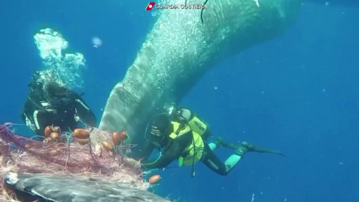 Επιχείρηση στην Ιταλία για την απελευθέρωση φάλαινας από δίχτυα (βίντεο)