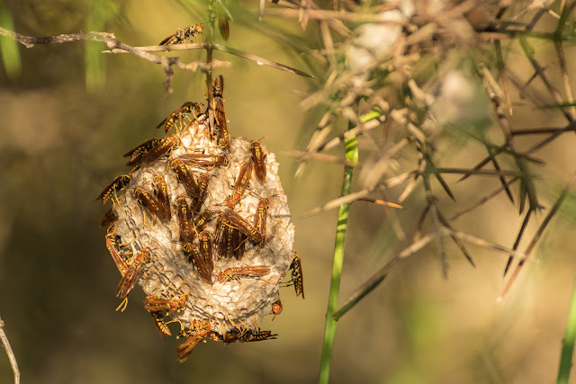 Unstable Paper Wasp, Puerto Egas