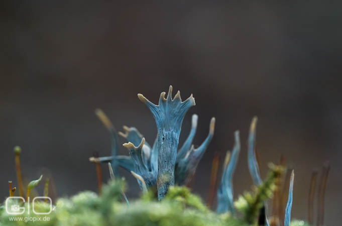 Photo: Xylaria hypoxylon candlestick fungus