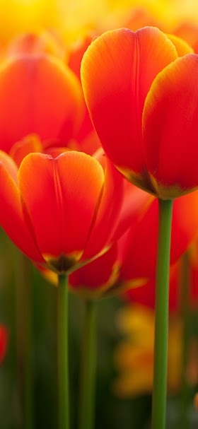 خلفية براعم أزهار الزنبق البرتقالية الجميلة