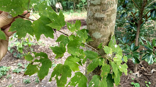 Acer rubrum (red maple) tree leaves new orleans louisiana