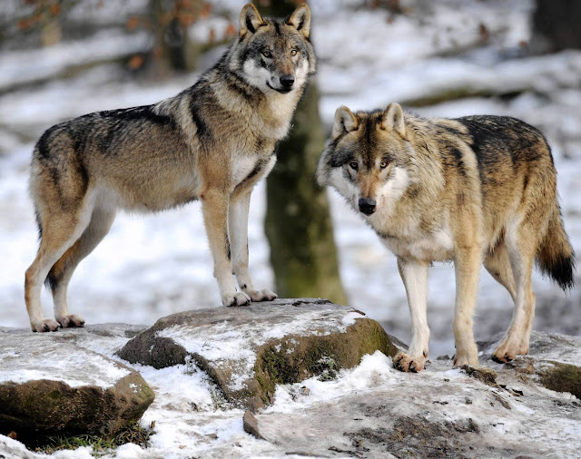 Sharing leftover meat may have contributed to early dog domestication