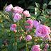 Et roosid püsiksid terved ja ilusad