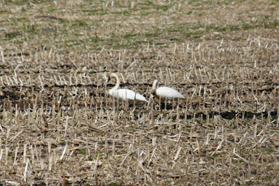 Spring: lambs in the meadow, swans in the corn?