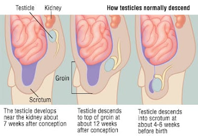 Descending of testis