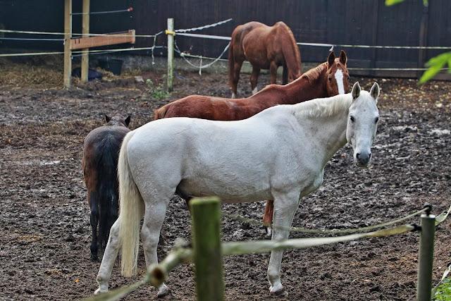 Pferde auf der Koppel, Braune Pferde, ein weißes Pferd