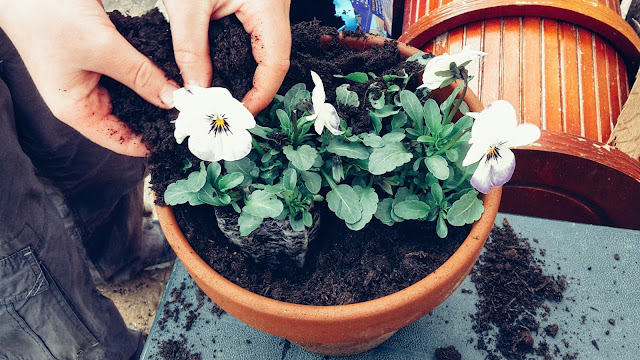 Project 366 2016 day 90 - Potting Violas // 76sunflowers