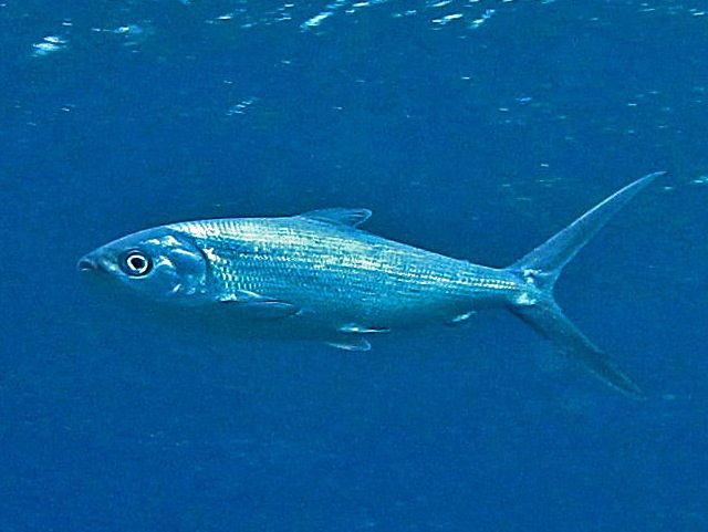 efek samping ikan bandeng
