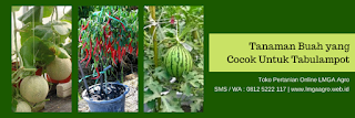 manfaat melon, benih dainty 1949, melon orange, jual benih melon, toko pertanian, toko online, lmga agro