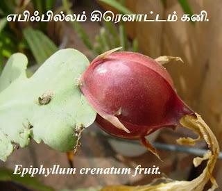 Epiphyllum crenatum fruit