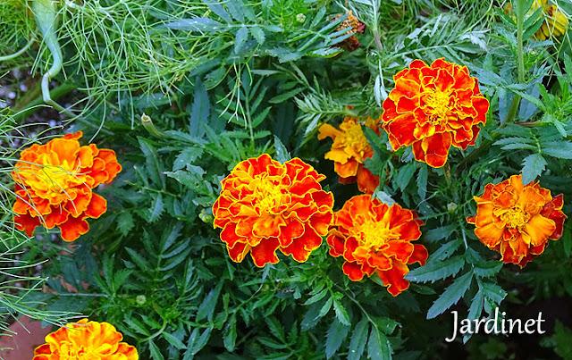 Tagetes, a planta amiga do jardim!