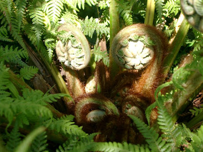 Young tree fern fronds