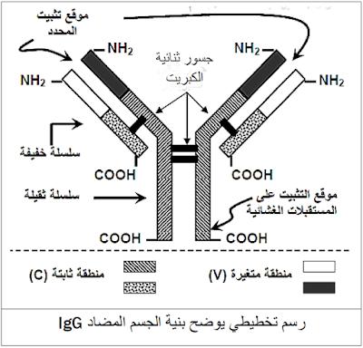 رسم تخطيطي للجسم المضاد