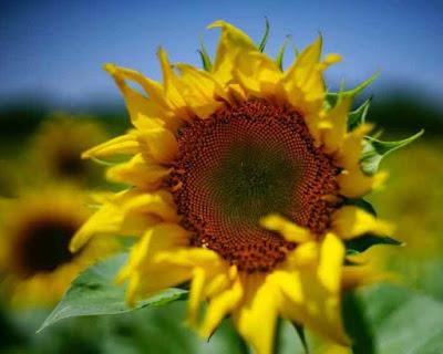 20 فائدة في زيت عباد الشمس للشعر البشرة والصحة