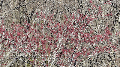 Red maple buds in spring