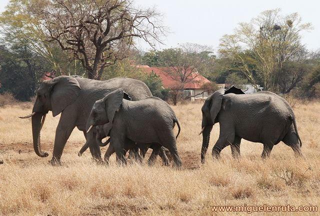 Elefantes-Satara-Kruger