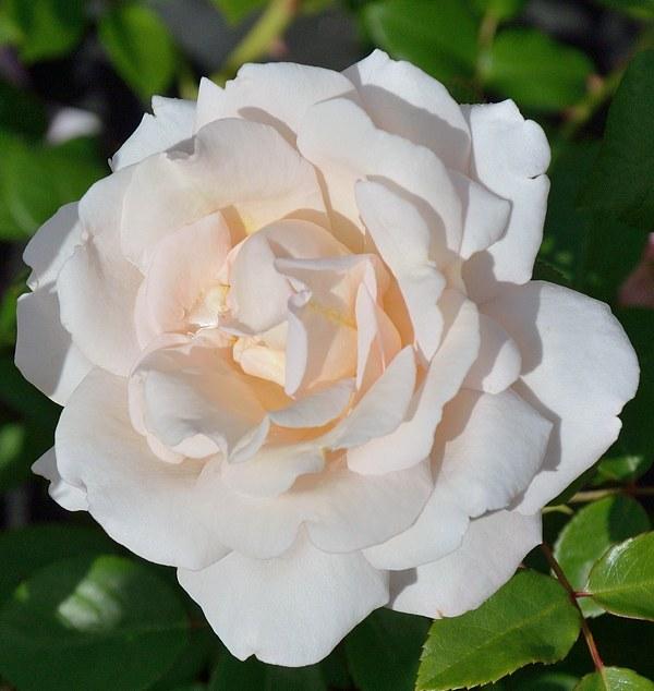 Martine Guillot сорт розы фото саженцы купить Минск