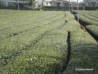 Tea (ocha) hedges, Kagoshima, Japan