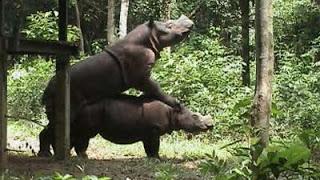 Sepasang badak sumatra di penangkaran Way Kambas