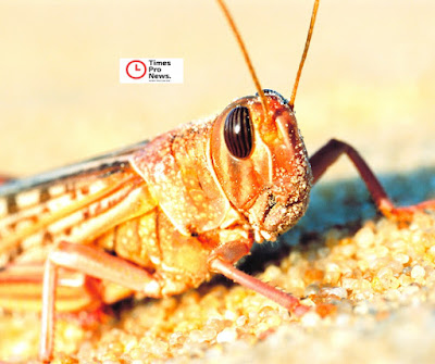 Why The Locust Invasion Could Be Devasting
