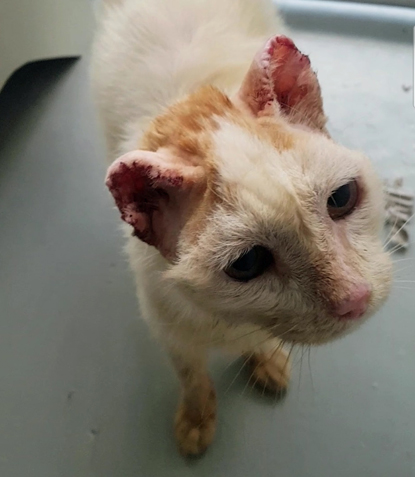 ginger-and-white cat with stitches in his ears
