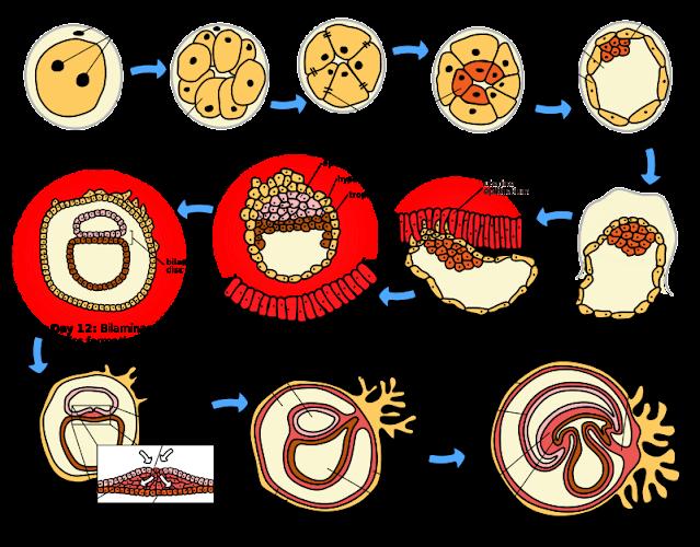 مراحل الإخصاب وتكوين الأجنة