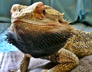 Bearded dragon black beard