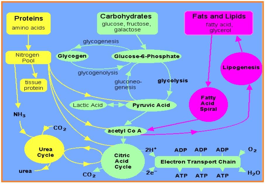 Bahan Kimia Anorganik Yang Berperan Dalam Proses Metabolisme Energi