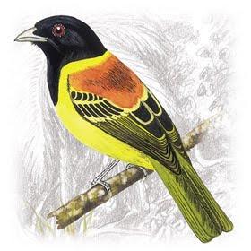 Pássaro Corocochó (Carpornis cucullatus)