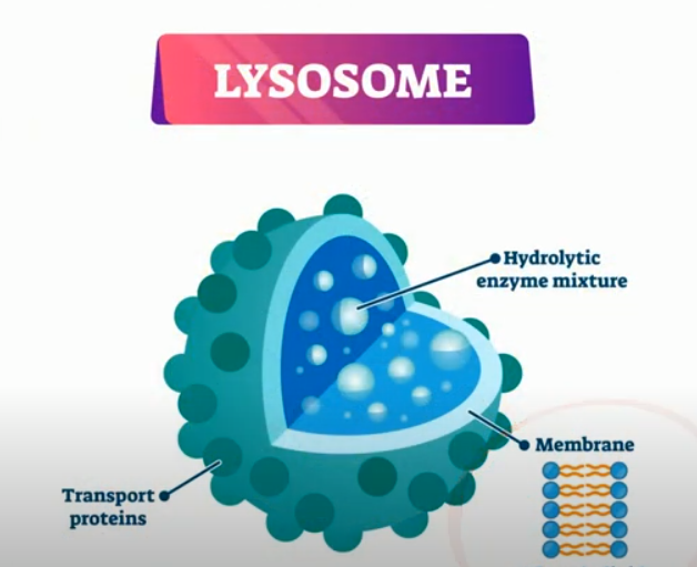 Function of Lysosomes   MooMooMath and Science