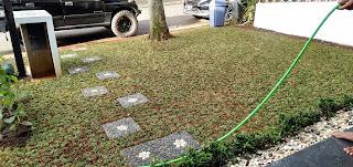 Jual Rumput Gajah Mini di Jakarta Selatan