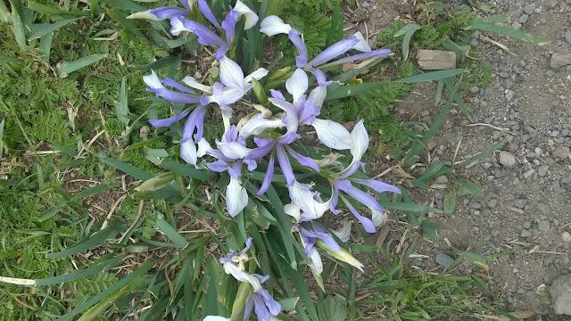 Himalayan flowers, Ladakh, Iris lacteata
