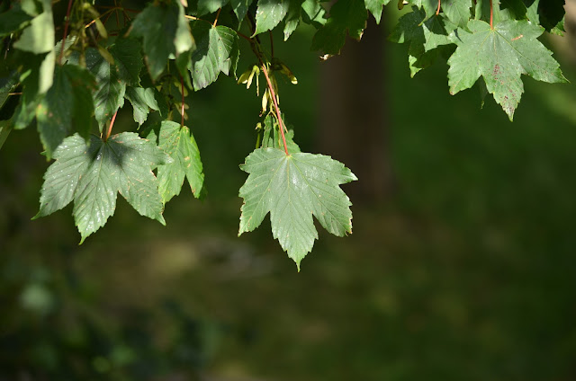 Leaves on what may be a sycamore tree.  7th August 2020.