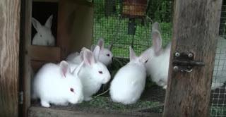 Jenis Kelinci New Zealan White