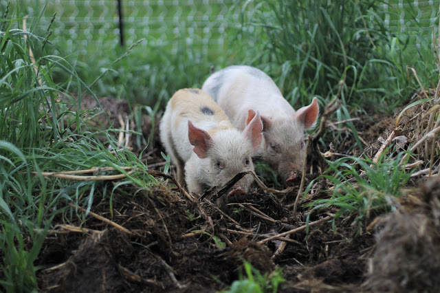 pastured pigs at Meadowfed Meats, LLC, Kendall, WI
