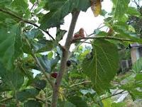 ialah tumbuhan asal cina yang banyak dibudidayakan diindonesia sebagai salah satu sum Murbei (morus alba L)